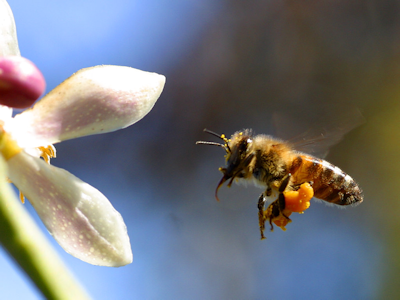 safely-removal-and-relocating-of-bee-swarms